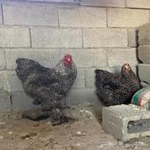 دجاج براهما فيومي