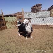 خروف نجدي ثني