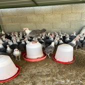 دجاج فيوم شبابي