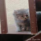 قطط شهرين للبيع. حبة. 650