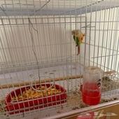 للبيع طيور كنيور