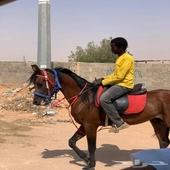 حصان واهو مصري بيور شيييخ
