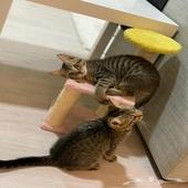 قطتين توأم هجين شيرازي وهيمالايا