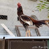 دجاج باكستاني فوليا