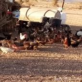دجاج بياض وبشاير