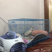 تبوك - قطه شرازي عمرها 6شهور