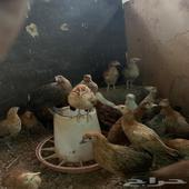 دجاج وديوك   العدد 30   العمر 4 شهور