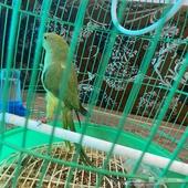 طير الدرة هندي انثى