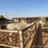 حصان مهر
