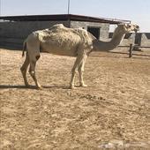 ناقه وضحاء معشرللبيع الموقع قريه العلياء