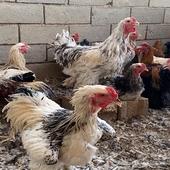 دجاج براهما الماني توب