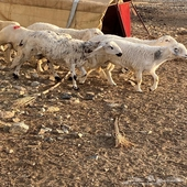 العدد 5 طليان ذبائح حقت مناسبات الموقع وادي ترج
