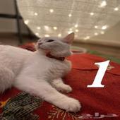 قطط شيرازي وسكوتش