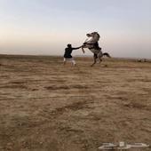 حصان كفوو وشيخخ