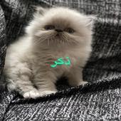 قطط بيكي للبيع