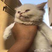 قط كيتن للبيع