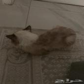 قطة هملايا بيور