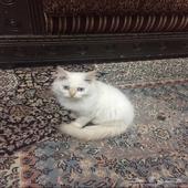 قطه هملايه على اورنج