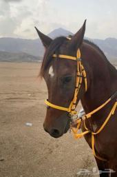 حصان اللبيع