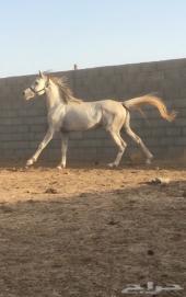 حصان عربي شعبي . الجمش