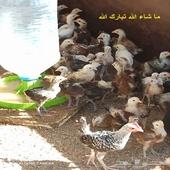 فراريج دجاج بلدي وفيومي احجام جامبو عمر شهر