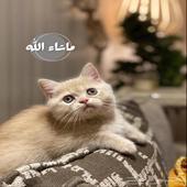 قطط - كيتن قط صغير ( شورت هير )