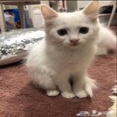 قطط للبيع (تم تخفيض السعر)