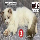 للبيع قطط توب راغدول وليس شيرازي تم البيع