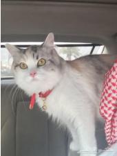 قطط للبيع_قطة شيرازي