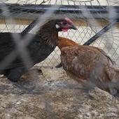 دجاج بلدي الخبر