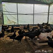 دجاج أسود لامبرقيني