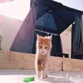 قطة صغيره للتبني