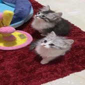 قطط كيتن شيرازي مون فيس للبيع