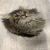 قطه صغيره كيتن قطط للبيع