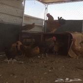 دجاج البيع