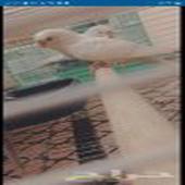طيور الحب بادجي هولندي.