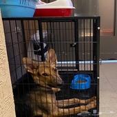 كلب جيرمن ذكر ورك لاين شورت هير