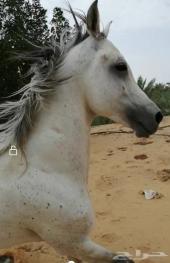 حصان واهو مصري