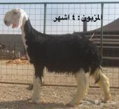 مستقبل خروف نجدي فاخر لأهل الزين 4 اشهر