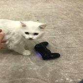 قطة شيرازي للتبني (ذكر) الموقع (رابغ)