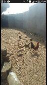 دجاج و أرانب مستعجل
