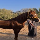 حصان واهو