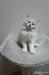قطة صغيرة شيرازي مجموعة قطط