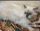 قطط شيرازية للتنبي