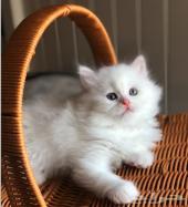 قطط صغيرة دول فيس بيرشن بيضاء