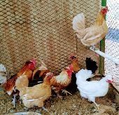 دجاج قزميات  جميل و منتج طبيعي