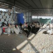 دجاج براهما وصيصان براهما في عفيف