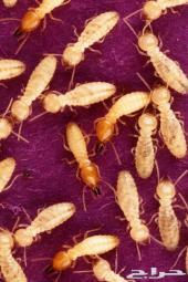مكافحة حشرات رش مبيد صراصير نمل اسود بالرياض