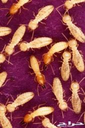 مكافحه حشرات رش مبيد صراصير نمل اسود الرياض