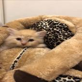 قطة قطط قط شيرازي جميل جدا